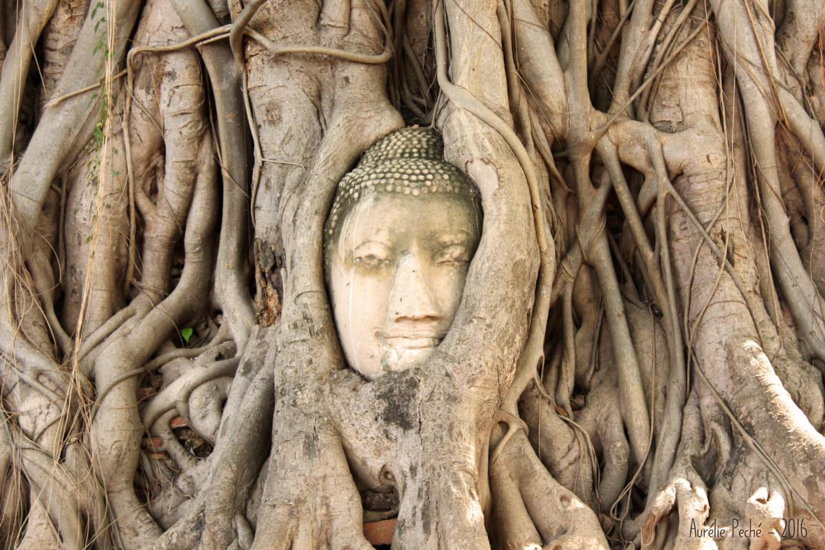 Bouddha dans les racines - Ayutthaya (Thaïlande)