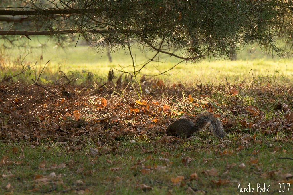 Ecureuil de Kew Gardens