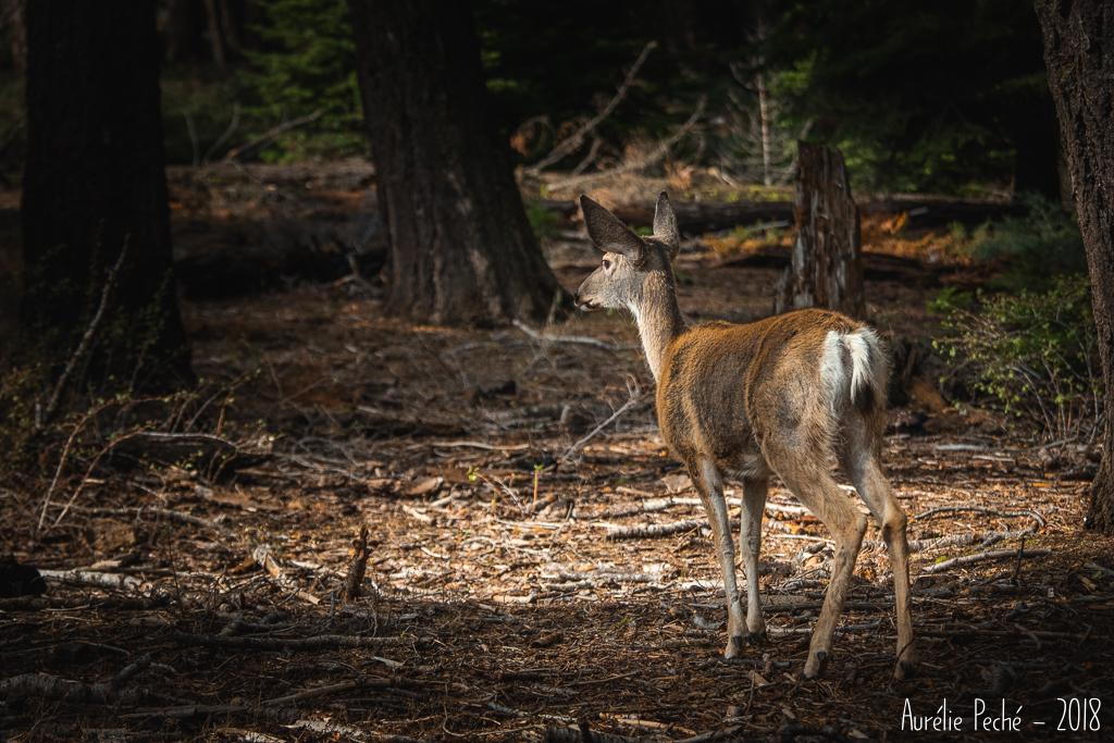 Sequoia - cervidé dans la forêt