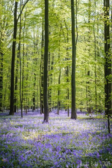 Le tapis de jacinthe du Bois de Hal