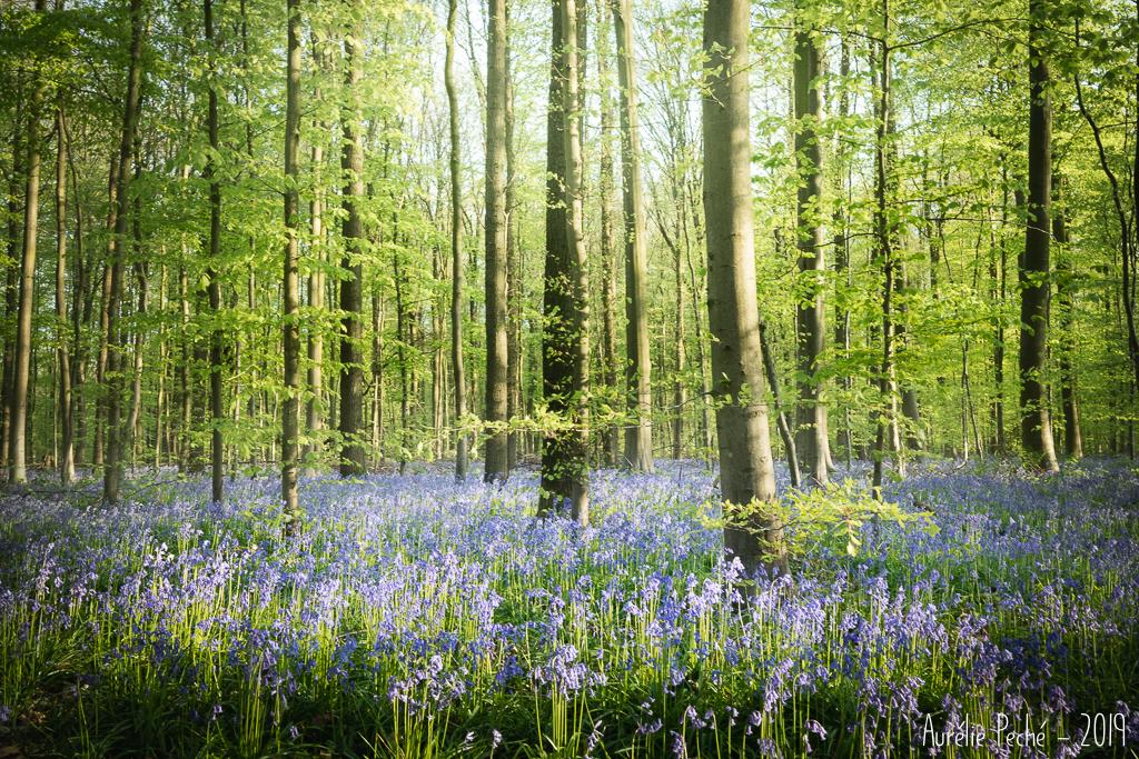 Le tapis de jacinthes du bois de Hal